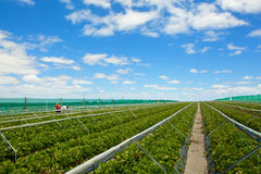 Strawberry field with blue cloudy sky Royalty Free Stock Photography