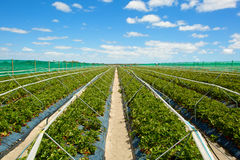 Strawberry field with blue cloudy sky Stock Image