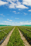 Strawberry field with blue cloudy sky Royalty Free Stock Photos