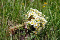 Strawberry field. Bunch of wild strawberry flowers lying in grass Royalty Free Stock Photo