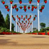 Strawberry field in buriram thailand. Perspective. Royalty Free Stock Image