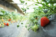 Strawberry in the field, close-up royalty free stock images