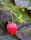 Strawberry in field Royalty Free Stock Images
