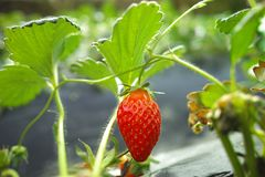 Strawberry in the field, close-up royalty free stock image