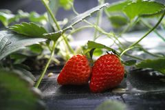 Strawberry in the field, close-up royalty free stock photos