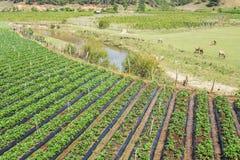Strawberry field, Da Lat city, Lam province, Vietnam. Strawberry field near Langbiang mountain is ready to be harvested., Da Lat, Lam province, Vietnam. Lam royalty free stock photo