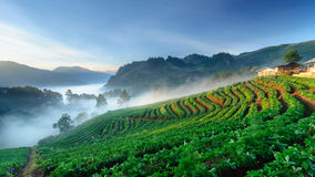 Strawberry field at doi angkhang mountain, chiang mai, thailand. Royalty Free Stock Photography