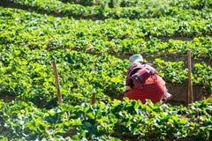 Strawberry field at Doi Angkhang mountain, chiangmai, thailand Royalty Free Stock Photos