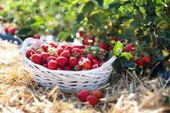 Strawberry field on fruit farm. Berry in basket. Strawberry field on fruit farm. Fresh ripe organic strawberry in white basket next to strawberries bed on pick stock photography