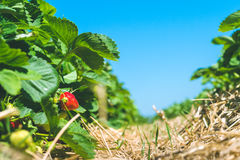 Strawberry field. Garden-bed with some ripe fruit. Blue sky in background Royalty Free Stock Photos