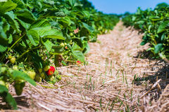 Strawberry field. Garden-bed with some ripe fruit. Blue sky in background Stock Photography