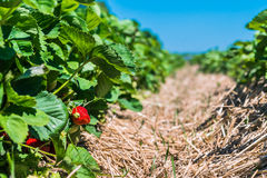 Strawberry field. Garden-bed with some ripe fruit. Blue sky in background Stock Images