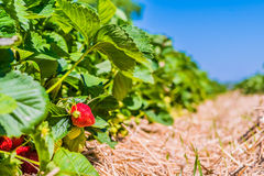 Strawberry field. Garden-bed with some ripe fruit. Blue sky in background Stock Photo