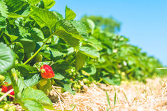 Strawberry field. Garden-bed with some ripe fruit. Blue sky in background Royalty Free Stock Image