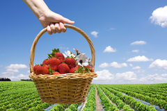 Strawberry field and hand with basket closeup Royalty Free Stock Photo
