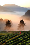Strawberry field in mist on mountain, Chiang Mai, Thailand Stock Photo
