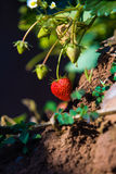 Strawberry in a field. Morning light Stock Photos