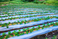 Strawberry field on the mountain Royalty Free Stock Images