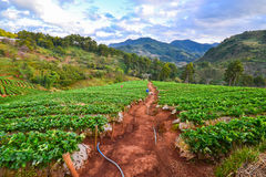 Strawberry field on mountain. Green strawberry field on mountain Royalty Free Stock Image