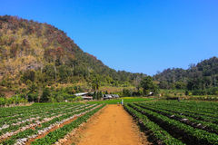 Strawberry field in the mountain Royalty Free Stock Photography