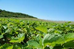 Strawberry Field in Muskoka Stock Images