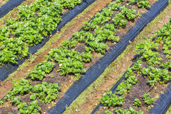 Strawberry field. Near Langbiang mountain ,ready for harvest., Da Lat, Lam province, Vietnam. Lam Province is the largest place growing vegetable in stock photos