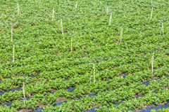 Strawberry field. Near Langbiang mountain ,ready for harvest., Da Lat, Lam province, Vietnam. Lam Province is the largest place growing vegetable in royalty free stock image