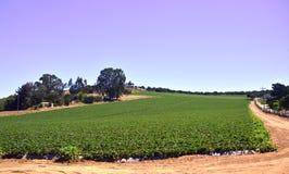 Strawberry field. Stock Photos