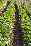 Strawberry field. Organic strawberries field in Thailand Stock Photo