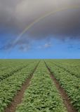 Strawberry field with rainbow. Strawberry field with blue sky horizon and rainbow Royalty Free Stock Image