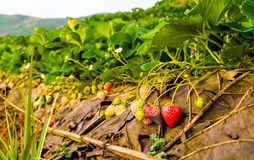 Strawberry in the field Royalty Free Stock Photos