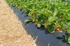 Strawberry field Stock Images