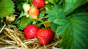 Strawberry Field with Ripe strawberries as background Stock Photography