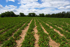 Strawberry field. Rows on the blue sky background Stock Images