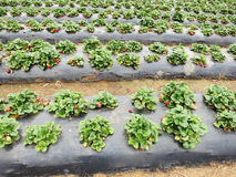 Strawberry Field. A strawberry field with rows of ripe strawberries Royalty Free Stock Image