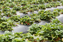 Strawberry field. A strawberry field with rows of ripe strawberries Royalty Free Stock Photography