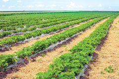 Strawberry field. In a rows, sky in the background Royalty Free Stock Image