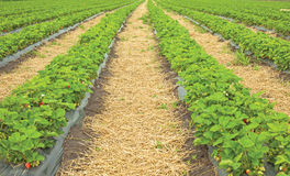Strawberry field. Rows of Strawberries in a large field Stock Images