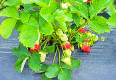 Strawberry field. Strawberries ripening in a strawberry farm row Stock Photography