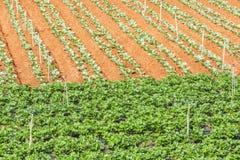 Strawberry field in the sun stock photo