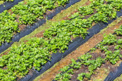 Strawberry field. In Suoi Vang lake ,ready for harvest., Da Lat, Lam province, Vietnam. Lam Province is the largest place growing vegetable in Vietnam stock images