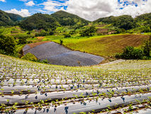 Strawberry field in Thailand. Panoramic view of a strawberry field in Thailand Stock Photo