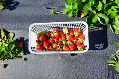 Strawberry field Stock Photography