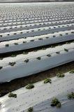Strawberry Fields Stock Photography