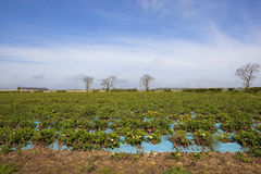 Strawberry fields. A springtime arable landscape with fields of strawberry plants under a blue sky in the yorkshire wolds england Stock Photos