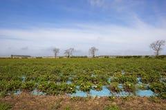 Strawberry fields Stock Photos