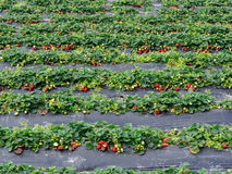 Free Strawberry Fields Stock Image - 50726571