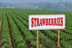 Strawberry Fields Royalty Free Stock Photos