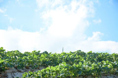 Strawberry fields with blue sky ,lthailand Royalty Free Stock Images