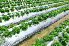 Strawberry Fields di Dahu, Taiwan Fotografie Stock Libere da Diritti